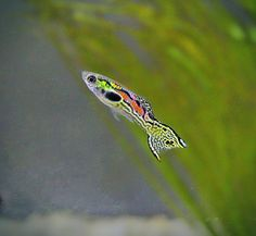 - Aquarium - 12 Really Small Fish For Aquariums & Nano Fish Tanks Endler Guppy. Tropical Freshwater Fish, Tropical Fish Aquarium, Tropical Fish Tanks, Freshwater Aquarium Fish, Saltwater Aquarium, Aquarium Fish Tank, Saltwater Tank, Guppy, Klein Aquarium