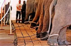 Elephants are magnificent animals.  They do not deserve this!  Do not go to circuses that have animals!