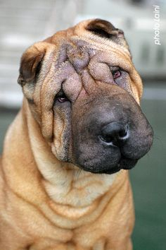 Shar Pei. I ♡ my sweet lil boy and the older he gets the more wrinkly he gets ♡ best dogs ever
