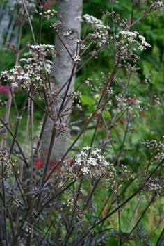 Anthriscus sylvestris Ravenswing. Hvis blomst rødbrune stængler. smuk sammen med salvia nemorosa caradonna også med brune stængler