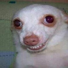 Shiba Conheca Tudo Sobre A Raca De Cachorro Doghero