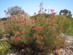 Grevillea Bonfire is a handsome shrub with coral red flowers and dark green fern like leaves. Also attracts birds and is a good screening plant.