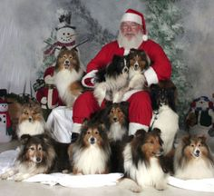 shelties+at+christmas | esssc