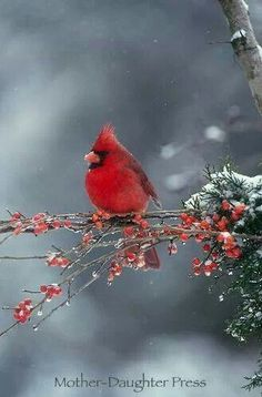 Male northern cardinal bird in winter snow storm on branch of red berries I love cardinals against winter scenes! Pretty Birds, Love Birds, Beautiful Birds, Animals Beautiful, Small Birds, Animals Amazing, Pretty Animals, Beautiful Winter Scenes, Cat Embroidery