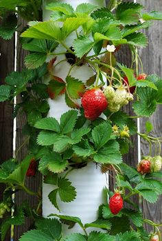 Strawberries in a pipe