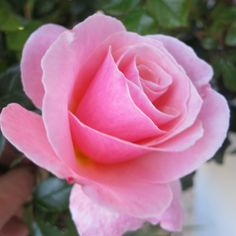 A rose is a rose is a rose .....