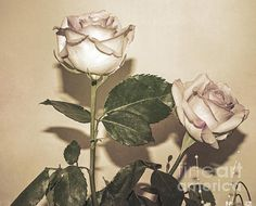 Beige Shadow Roses by Linda Troski