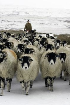 """These are the sheep I think of when someone says """"sheep"""" because they're all over the place in North Yorkshire (original pinner) Sheep Farm, Sheep And Lamb, Farm Animals, Animals And Pets, Yorkshire Dales, North Yorkshire, Wooly Bully, Baa Baa Black Sheep, Sheep Breeds"""