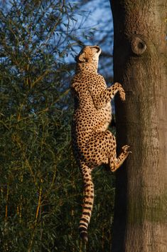 Cheetahs aren't good climbers compared to other cats but they know to use their best advantage to reach a nice spot in a tree: their speed. Wild Animals Pictures, Big Animals, Animal Pictures, Beautiful Creatures, Animals Beautiful, Sand Cat, Cat Exercise, Exotic Cats, Pet Tiger