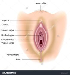 Anatomy Of Vulva Diagram Female Genitalia Female Reproductive System Anatomy, Diagram