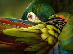 NOVEMBER 15, 2015. Color Screen by Trudy Walden. Preening brings out the coy side of a blue-winged macaw, also known as an Illiger's macaw. Found in the wild in parts of Argentina, Brazil, and Paraguay, the small parrot is classified as near threatened by the IUCN. Habitat loss and the pet trade have contributed to its shrinking numbers