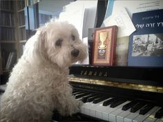 Lychee is great at playing the piano. #lycheethemusician #pninatornai #lychee #dogs #puppies #smallbreed
