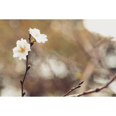 【dara_seodj】さんのInstagramをピンしています。 《いつまでこんな花だけ撮れないー誰か被写体になって😂  #桜 #人物写真撮りたい #スナップ写真撮ります》