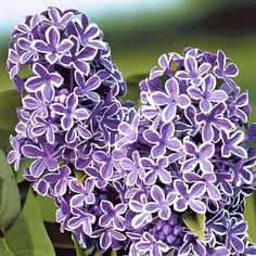 Cumpara Rasaduri de plante ornamentale in magazinul online GradinaMax - pagină 5
