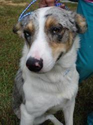 Ollie Oop is an adoptable Australian Shepherd Dog in Yardley, PA. Meet OLLIE OOP a very handsome neutered male Aussie/American Blue  Heeler  mix. Look at his unusual coloring, blue  merle  and wh...