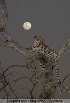 Leopard with rising moon. just beautiful.