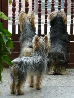 One can never have Too Many Yorkies! #yorkshireterrier