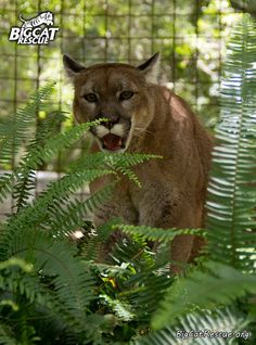 Reise, cougar, from Big Cat Rescue