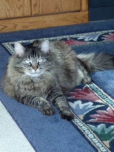 My Maine Coon Beauty - Xena, Warrior Princess! Chat Maine Coon, What Cats Can Eat, Youtube Cats, World Cat, Adoption, Dancing Cat, Cat Sweaters, Domestic Cat, Beautiful Cats