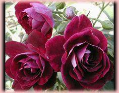Burgundy Iceberg, Rosa Floribunda Luscious deep, purple-red burgundy petals.