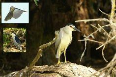 Starc de noapte – Nycticorax nycticorax – Night Heron