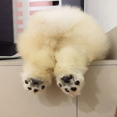 "Puppies and poofies - Puffie_the_chow (@puffie_the_chow) on Instagram: ""Oops my fluffy butt and tiny paws  我的毛屁股和一对小脚  #minichowchow #chowchow #puppy #puffiethechow…"""