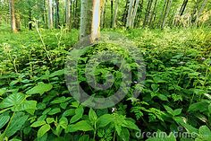 Green bushes and undergrowth in a forest.