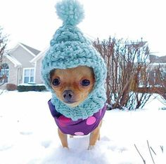 Effective Potty Training Chihuahua Consistency Is Key Ideas. Brilliant Potty Training Chihuahua Consistency Is Key Ideas. Chihuahua Love, Chihuahua Puppies, Cute Puppies, Cute Dogs, Animals And Pets, Baby Animals, Funny Animals, Cute Animals, Funny Pets