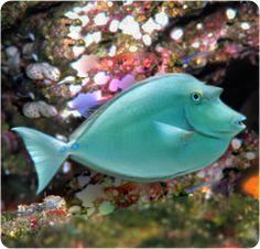 Unicornio, espina, azul, espina dorsal Unicornfish