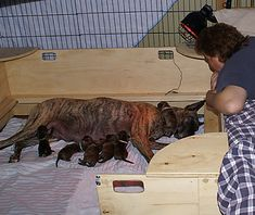 Whelping Box Construction Plans Welping Box, Dog Whelping Box, Dog Birth, Dog Kennels, Diy Dog, Bullies, Dog Stuff, Behavior, French Bulldog