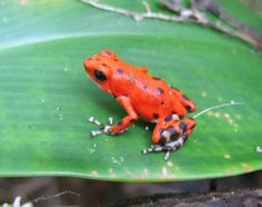Dendrobates pumilio -- Strawberry poison dart frog Strawberry Poison Dart  Frog ac031f767dd8
