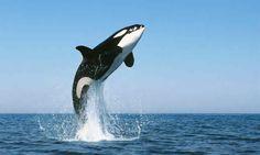 (20) Twitter Orcas, Water Animals, Ocean Creatures, Tier Fotos, Killer Whales, Sea And Ocean, Stuffed Animals, Animals Beautiful, Beautiful Creatures