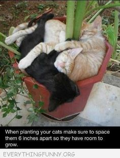 "Ladies & Gents, listen to me: When planting your cats, space them at least 6"" apart, so they have room to grow!!  <3<3<3<3<3"