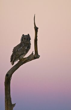 Owl Sunset by Ingrid Vekemans. Verreaux's Eagle-Owl (Bubo lacteus) resting before the hunt on a dead tree in Tsavo East National Park, Kenya; photo taken at sunset. Animals And Pets, Cute Animals, Beautiful Owl, Owl Bird, Mundo Animal, Birds Of Prey, Love Birds, Beautiful Creatures, Animal Kingdom