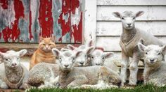 Sorry to alarm you but this cat called Steve legit thinks he's a lamb
