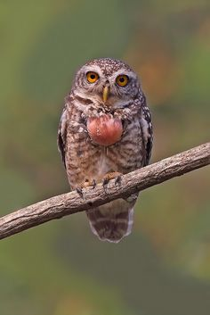 Spotted Owlet (Athene brama) 横斑腹小鸮 | by wavethree