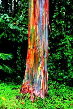 The rainbow eucalyptus trees----AWESOME....worlds most interesting tree!!!
