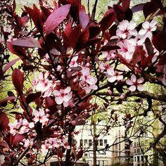 #cherryblossom in #unionsquare #newyork #newyorkcity #nyc #sakura #flower #floral #spring