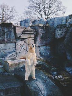#iphone #copenhagenzoo #zoo #polarbear