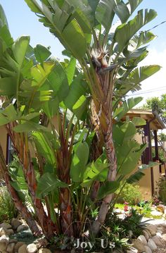 Giant bird of paradise plants