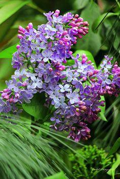 Unforgettable / Lilac / April 2015 https://www.facebook.com/goodallphoto