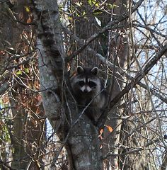 What's it like to be a racoon living at Phinizy Swamp?