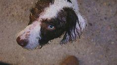 Perro de Agua Español. Jack pasado por agua.
