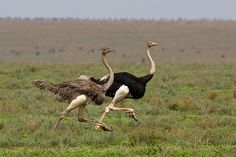 Male and female ostriches. According to a Kansas ostrich farmer, one of the main difficulties in raising these birds is that they are intensely stupid. He tells of a bird that got its head stuck in a fence, so naturally it braced both feet on the fence and pulled. It pulled its own head off!