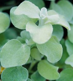 licorice plant. nice filler in pots! foliate only. has such and interesting color....kind of silver overlaying light lime green. would look beautiful playing against the purple and whites. this is usually easy to find - pretty inexpensive annual.