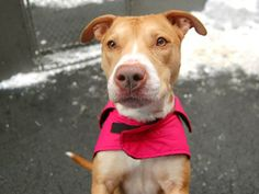 TO BE DESTROYED 2/4/14  Manhattan Center -P TULIP A0990036  Spayed female tan & white pit mix 1YR 7MTHS old STRAY on 01/21/2014 Her leash manners are lovely and she is likely housetrained. Tulip is warming up & is becoming quite affectionate.  Loves to meet new canine friends. Back in the building she stood quietly while her feet and belly were dried.  If you are looking for a sweet and gentle little girl, Tulip is who you've been waiting for.