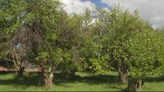 KOB TV .... Historic Abiquiu apple orchard survives late freeze through ingenuity