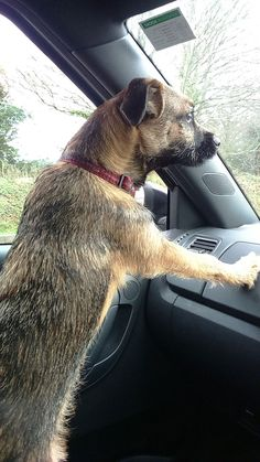 Border Terrier Budleigh on patrol
