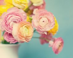 Pink and yellow Ranunculus on blue.  by Laura Ruth