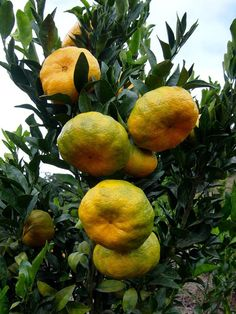 10 Edible Plants You Can Grow in Your Apartment Fruit Plants, Edible Plants, Fruit Garden, Fruit Trees, Weird Fruit, Strange Fruit, Colorful Fruit, Tropical Fruits, Fruit And Veg